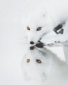 Raposa do ártico, registrada por Benjamin Hardman