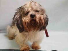 BROWNIE – A1126553 - SUPER URGENT MANHATTAN - MALE, GRAY / WHITE, SHIH TZU MIX, 13 yrs OWNER SUR – EVALUATE, HOLD FOR LEGAL Reason PET HEALTH Intake condition GERIATRIC Intake Date 09/25/2017, From NY 10027, DueOut Date 09/25/2017, Medical Behavior Evaluation GREEN Medical Summary DVM Intake Exam Estimated age: 13yrs