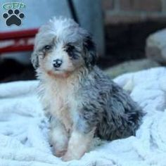 Mini Bernedoodle puppies for sale! These loving, playful Miniature Bernedoodle puppies are a cross between a Miniature/Toy Poodle & a Bernese Mountain Dog. Bernese Mountain, Mountain Dogs, Bernedoodle Puppy, Greenfield Puppies, Puppies For Sale, Poodle, Animals, Animales, Animaux