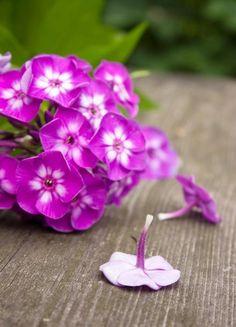 Floxy (Phlox) - po našem plaménky, jsou nádherně kvetoucí rostliny, které zdobívaly zahrádky našich babiček. Spřílivem nejrůznějších druhů exotických rostlin se na ně jaksi zapomnělo, ale nyní prožívají svoji renesanci.
