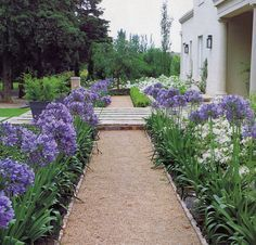 Agapanthus plants are perennial flowering plants. Agapanthus plants are known by different names, like African Lily, African Blue Lily and Lily of the Nile. Garden Edging, Garden Paths, Garden Beds, House Landscape, Landscape Design, Agapanthus Garden, Agapanthus Blue, Mediterranean Garden, Front Yard Landscaping