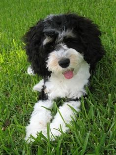a tricolor Cockapoo at 4 months old.
