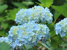 【2015年6月中旬撮影】 ガーデンでは、アジサイが咲き始めました!