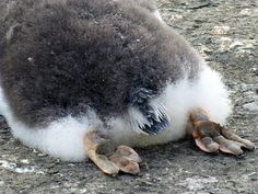 Baby gentoo penguin shows off a little sole