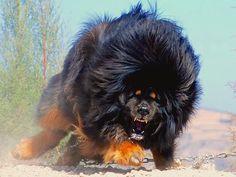 Angry Tibetan Mastiff