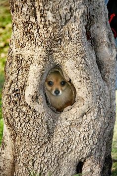 Pomeranian in a tree.  Go to www.YourTravelVideos.com or just click on photo for home videos and much more on sites like this.