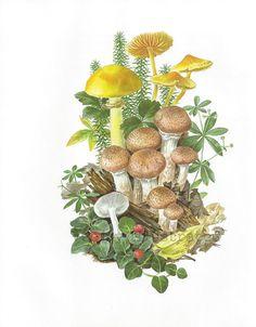 mushroom botanical illustration - Google Search