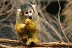 Squirrel Monkey ~ saimiri sciureus