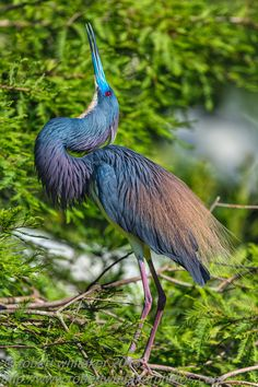 by Robert Whitaker Love for Earth_______________E~~~Tricolored heron (Egretta tricolor), formerly known as the Louisiana heron, is a small species of heron that is native to coastal parts of the Americas. Exotic Birds, Colorful Birds, Beautiful Butterflies, Beautiful Birds, Bird Painting Acrylic, World Birds, Puppies And Kitties, Kinds Of Birds, Animal Totems