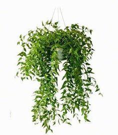 Hoya Bella hangplanten en kamerplanten | Chicplants Indoor Garden, Garden Pots, Indoor Plants, Hoya Plante, Spa Images, Decoration Plante, Garden Spaces, Cacti And Succulents, Hanging Plants