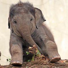 Be Good and Do Good : asiatic elephant Sanuk artis Photo Elephant, Happy Elephant, Adopt An Elephant, Asian Elephant, Elephant Love, Elephants Photos, Save The Elephants, Baby Elephant Pictures, Amor Animal