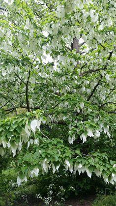 Batsford Arboretum  Handkerchief tree