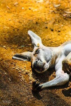 Food coma Kangaroo facebook.com/Parrottspics