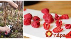 Jedna rada pre tých, ktorí už pozbierali maliny: Toto musíte urobiť hneď po zbere, aby vám bohato zarodili aj o rok! Raspberry, Strawberry, Fruit, Food, Gardening, Halloween, Health, Health Care, Essen