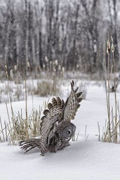 owl in the snow...