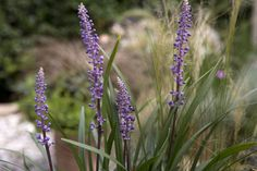 Plant profile of Liriope muscari- low maintenance perennial ground cover. Flowers Autumn (Aug-Nov)
