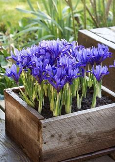 Container Flowers, Container Plants, Container Gardening, Spring Blooms, Spring Flowers, Iris Reticulata, Narcisse, Purple Garden, Flower Boxes