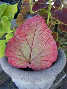 Items similar to Gilded Red & Green Rhubarb leaf casting on Etsy Concrete Bird Bath, Diy Concrete Planters, Painting Concrete, Concrete Crafts, Cement Leaf Casting, Concrete Leaves, Outdoor Water Features, Water Features In The Garden, Garden Fountains Outdoor