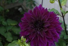 I love the colour and it has huge flowers, this is from last wee