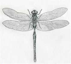 Dragonfly Drawings ~ Kids stories, Pencil Drawings, How to Draw, Rhymes download,chota bheem,kids blog,rishaun pinto