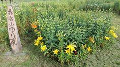 Good morning ��  #ゆり #百合 #flowers #flower #オーンズ #lily  #art  #otaru  #hokkaido #japan #写真を撮るのが好きな人と繋がりたい #ユリ #백합  #小樽 #すかしゆり #ハート #アート http://misstagram.com/ipost/1556134116503986495/?code=BWYf7v1FiE_