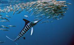 Striped Marlin Fishing Charters In Costa Rica  http://gocostaricafishing.com/news/view/248/Striped_Marlin_Fishing_Charters_In_Costa_Rica.html?source=pi