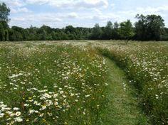 Wild Flower Meadow - Ox-eye Daisies