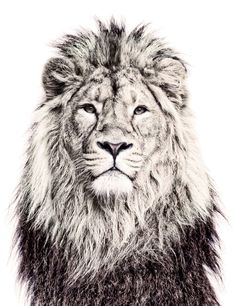 Look at this amazing lion wall sticker from Littlefashionaddict.com