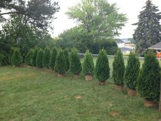 How to plant Emerald Green Arborvitae privacy trees (distance, etc) Arborvitae Landscaping, Privacy Landscaping, Planting Shrubs, Front Yard Landscaping, Backyard Landscaping, Planting Flowers, Landscaping Ideas, Backyard Ideas, Garden Ideas