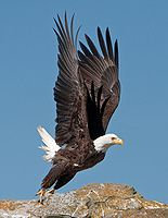 I saw two of these fly right over my car as I crossed the Arkansas River on street one morning, rush hour. Eagle Wings, Eagle Bird, Where Eagles Dare, Bald Eagles, Wildlife Nature, Big Bird, Birds Of Prey, Cool Pets, Bird Feathers