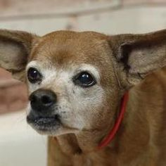 Pictures of Misty a Chihuahua for adoption in Palm Springs, CA who needs a loving home.
