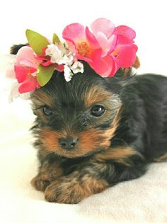 Teacup Yorkie....I need this                                                                                                                                                                                 More