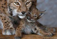 beautiful precious wonderful sweet prettyful lynxes!!!
