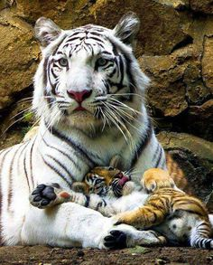 Tiger with cubs on its paws