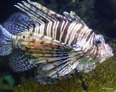 Nov. 19, 2016: Lionfish, Barcelona Science Museum