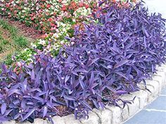 Setcreasea pallida, or Purple Heart, a native of Mexico, is named for the striking purple color of the plant in full sun. Drought tolerant. A wonderful choice for hot dry conditions. Makes an excellent ground cover and looks stunning when paired with yellow lantana or pink vinca..