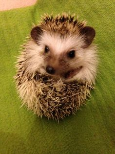 African pygmy hedgehogs for sale | Derby, Derbyshire | Pets4Homes