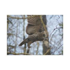Great Grey Owl Launching in Forest Gallery Wrapped Canvas