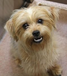 Cookie is an adoptable Lhasa Apso, Brussels Griffon Dog in Carrollton, TX Good day to you, my name is Cookie and I am a Brussels Griffon mixed lady who was found as a st ... ...Read more about me on @petfinder.com
