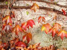https://flic.kr/p/pQxwkX | Herbstbild | Dies ist ein Herbsttag, wie ich keinen sah!  Die Luft ist still, als atmete man kaum,  Und dennoch fallen raschelnd, fern und nah,  Die schönsten Früchte ab von jedem Baum.  O stört sie nicht, die Feier der Natur!  Dies ist die Lese, die sie selber hält,  Denn heute löst sich von den Zweigen nur,  Was von dem milden Strahl der Sonne fällt.  (Friedrich Hebbel)