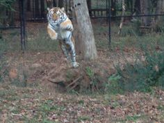 Mr. Smith shows off his athletic ability as he effortlessly leaps over the 20 plus foot wide creek that runs through his natural habitat. #MrSmith #NoahsArk #Tiger #Fly #Leap   www.noahs-ark.org