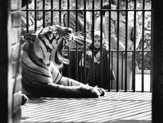 """This photo was taken a year before the Children's Zoo opening, observing: """"April 20, 1960: A boy observed a tired tiger in the Central Park Zoo. That summer, former Gov. Herbert H. Lehman of New York gave the city $500,000 to build an adjacent zoo for kids, full of """"peaceful animals that children are fond of: rabbits, ducks, geese, doves, lambs, calves, pigs, baby deer, llamas, goats and perhaps even a talking crow."""" Unlike the normal, """"adult"""" zoo, stands would sell food for the animals so…"""
