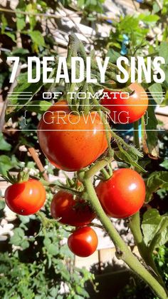 Avoid these 7 tomato growing problems! Sun scald, blossom end rot, phosphorous deficiency, catfacing, growth cracks, underwatering, overwatering and more. Learn to grow the best tomatoes at gardeningchannel.com