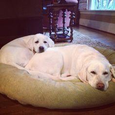 White Labradors...big sister pillow!