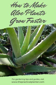 Ever wonder if your aloe plant is growing at all? Find out how fast aloe plants grow, as well as tips to grow them faster. #indoorplants #houseplants #aloe #succulents