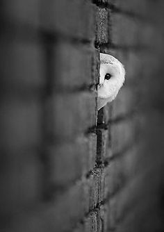 Black and white, owl and stone wall