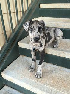 Gypsy Blue, 8 weeks!  Great Dane Puppy