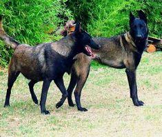 Belgian Dog, Belgian Malinois Dog, Berger Malinois, Malinois Puppies, Baby Dogs, Dogs And Puppies, Dutch Shepherd Dog, Belgium Malinois, Schaefer