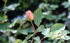 peach rose bud