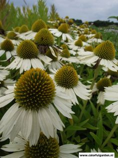 Echinacea purp. 'White mediation'